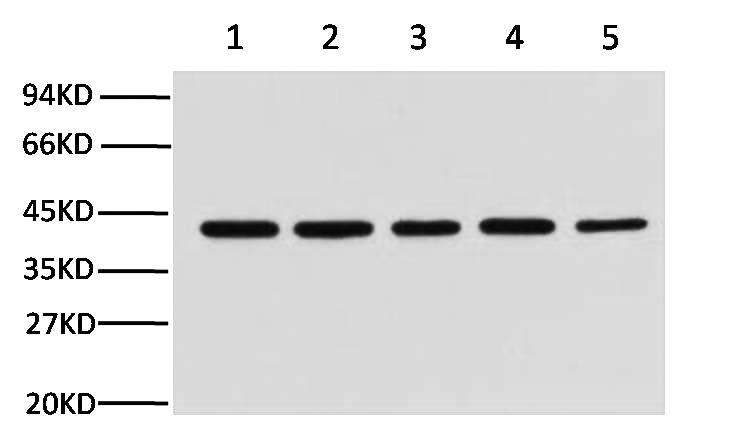 Fig.1.Western blot analysis (1:10,000) of β-Actin expression in Rat brain (lane 1), HeLa cell lysate (lane 2), Mouse brain (lane 3), Chicken lung (lane 4) and Rabbit testis (lane 5) with Anti-β-Actin mouse monoclonal antibody (1C7).