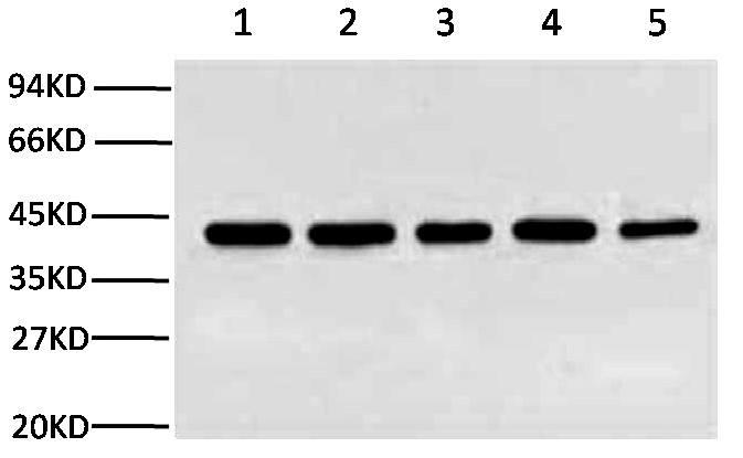 Fig.2.Western blot analysis (1:10,000) of β-Actin expression in Rat brain (lane 1, HeLa cell lysate (lane 2, Mouse brain (lane 3, Chicken lung (lane 4) and Rabbit testis (lane 5) with Anti-β-Actin mouse monoclonal antibody (1C7).
