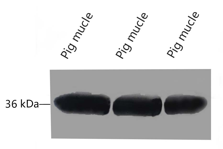 Fig.7 Western blot analysis of Pig muscle tissue, GAPDH Monoclonal Antibody (2B5) was diluted at 1:10000 (25°C, 3h).