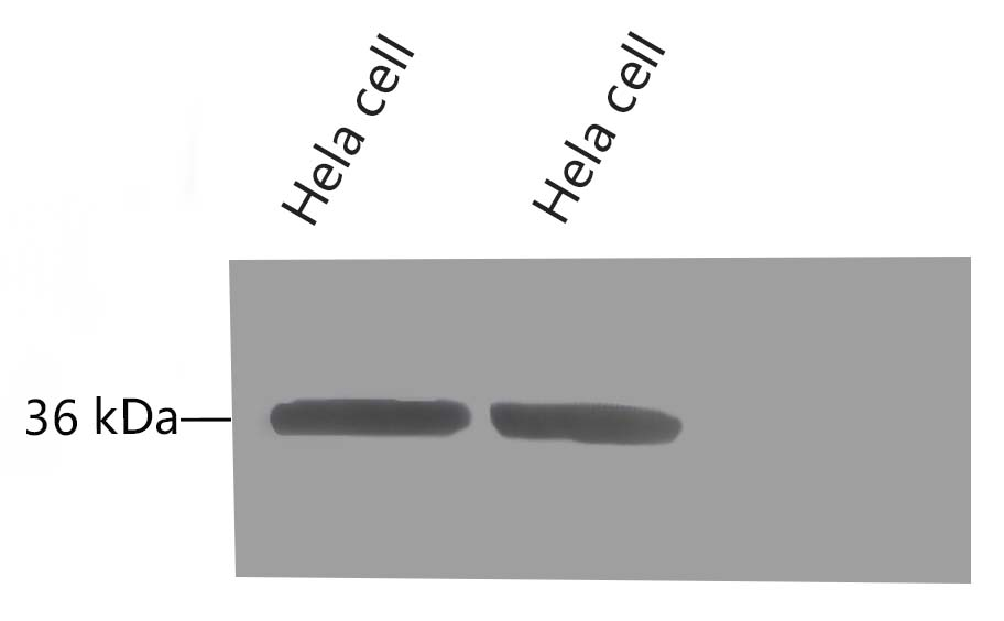 Fig.8 Western blot analysis of Hela, GAPDH Monoclonal Antibody (2B5) was diluted at 1:10000 (25°C, 3h).
