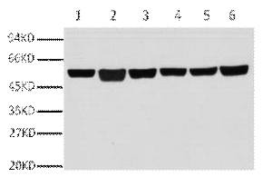 Fig.1. Western blot analysis of A549(1), rat brain (2), mouse brain (3), chicken lung (4) and rabbit testis(5), sheep muscle(6), diluted at 1:10000.