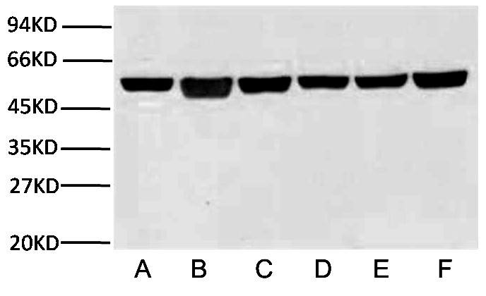 Fig.2.Western blot analysis (1:10,000) of β-Tubulin expression in Rat brain (lane A, A549 cell (lane B, Mouse brain (lane C, Chicken lung (lane D) and Rabbit testis (lane E) and Sheep muscle (lane F) with Anti-β-Tubulin mouse monoclonal antibody (3G6).