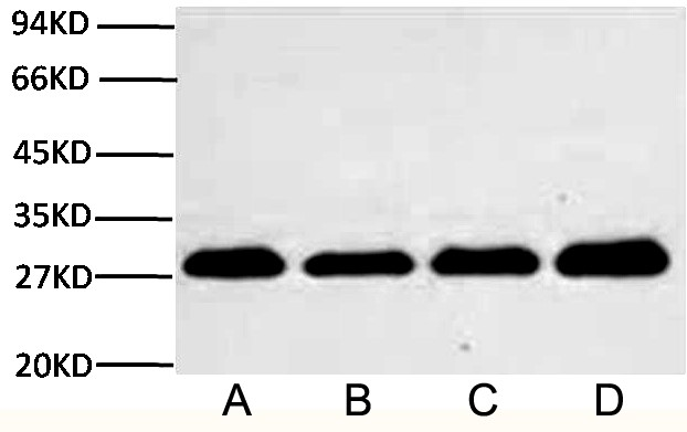Fig.2.Western blot analysis (1:2,000) of PCNA expression in Rat brain (lane A, A549 cell (lane B, NIH 3T3 cell (lane C) and 293T cell (lane D) with Anti-PCNA mouse monoclonal antibody (1D7).