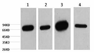 Fig.1. Western blot analysis of 1) HepG2, 2) 293T, 3) mouse brain tissue, 4) rat brain tissue, diluted at 1:5000.