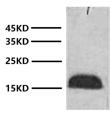 Fig. Western blot analysis of Zebrafish skeletal muscle with Anti-Histone H3 Monoclonal Antibody (2D9) at 1:2000 dilution.