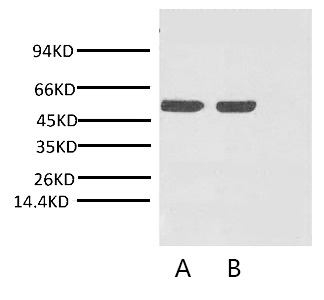 Fig. Western blot analysis of Arabidopsis with Rubisco (Large Chain) monoclonal antibody at 1:2000 (lane A) and 1:5000 (lane B) dilutions, seperately.