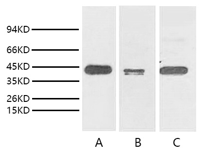Fig. Western blot analysis of TATA Binding Protein express in  Hela (lane A), Mouse brain tissue (lane B) and Rat brain tissue (lane C) with TBP/TATA Binding Protein monoclonal antibody with 1:2000 dilution.