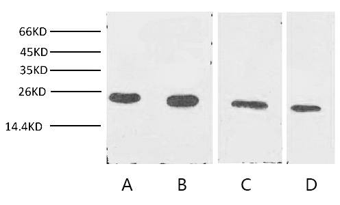 Fig. Western blot analysis of Cyclophilin B expression in Jurkat cells (lane A), 293T cells (lane B), Rat liver tissue (lane C) and 3T3 cells with Anti-Cyclophilin B Monoclonal Antibody (7B2) with 1:2000 dilutions.