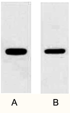 Fig. WB (1:10000) analysis of GFP fusion protein with Anti-GFP Mouse Monoclonal Antibody (3D3) in 1:5000 dilutions. 2ug GFP fusion protein(lane A) and 1 ug fusion protein(lane B).