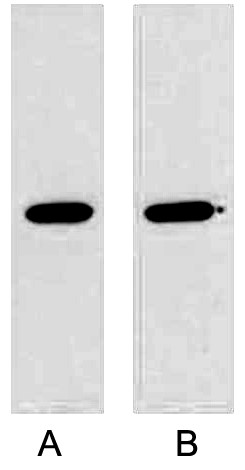 Fig. Western blot analysis of GST fusion protein with Anti-GST Mouse Monoclonal Antibody (2A8) in 1:5000 dilutions (lane A) and 1:10000 dilutions (lane A) with 0.5ug GST fusion protein, separately.