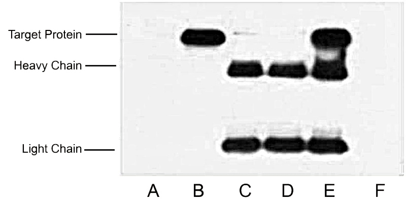 Fig.2.IP (1:400)-WB (1:10000) analysis of HA fusion protein expression in 293 cells. Untransfected 293 cell lysate (lane A), transfected 293 cell lysate with HA-tag protein (lane B); IP untransfected 293 cell lysate with Anti HA tag mAb (lane C); IP transfected 293 cell lysate with normal Mouse IgG (lane D), or with Anti HA tag mAb (lane E), and IP transfected 293 without both normal Mouse IgG and HA tag mAb (lane F).
