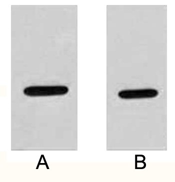 Fig. Western blot analysis of 2ug HA fusion protein with Anti-HA rabbit polyclonal antibody in 1:2000 (lane A) and 1:5000 (lane B) dilutions.