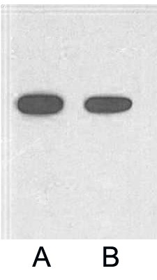 Fig. Western blot analysis of 2ug His fusion protein with HRP Conjugated Anti-His Tag Mouse Monoclonal Antibody (5C3) in 1:2000 (lane A) and 1:5000 (lane B) dilutions.