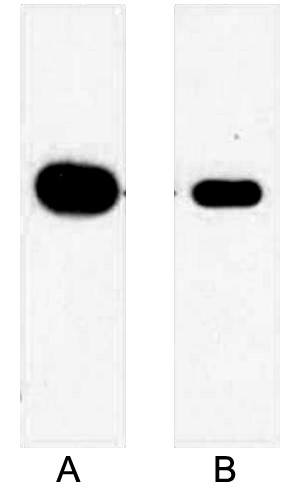Fig.2. Western blot analysis of 1ug Myc fusion protein with Anti-Myc Mouse Monoclonal Antibody (2D5) in 1:5000 dilution (lane A) and 1:10000 dilution (lane B).
