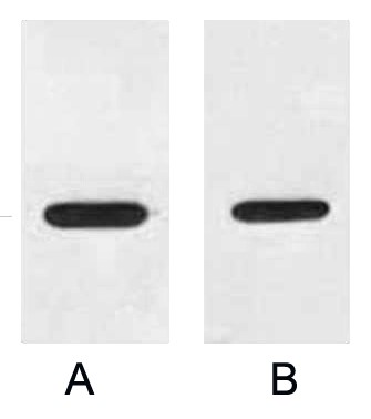 Fig. Western blot analysis of 1ug Myc fusion protein with Anti-Myc rabbit polyclonal antibody in 1:3000 (lane A) and 1:6000 (lane B) dilutions.