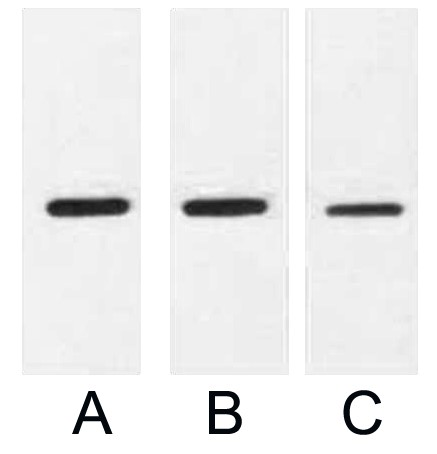 Fig. Western blot analysis of 0.5ug MBP fusion protein with Anti-MBP Tag Mouse Monoclonal Antibody (9Y5) in 1:2000 (lane A), 1:3000 (lane B) and 1:5000 (lane C) dilutions.