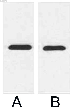 Fig.2. Western blot analysis of 1ug mCherry fusion protein with Anti-mCherry Tag Mouse Monoclonal Antibody (9D3) in 1:2000 (lane A) and 1:5000 (lane B) dilutions.
