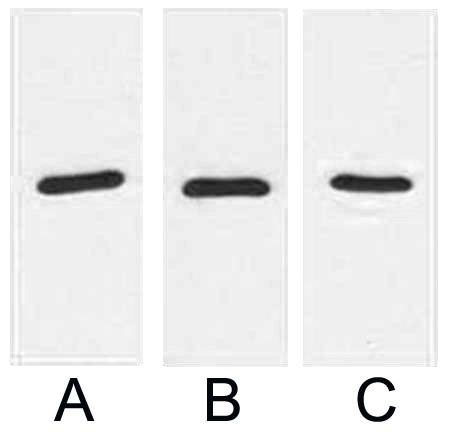 Fig. Western blot analysis of 1ug RFP fusion protein with Anti-RFP monoclonal antibody in 1:2000 (lane A) , 1:3000 (lane B) and 1:5000 (lane C) dilutions.