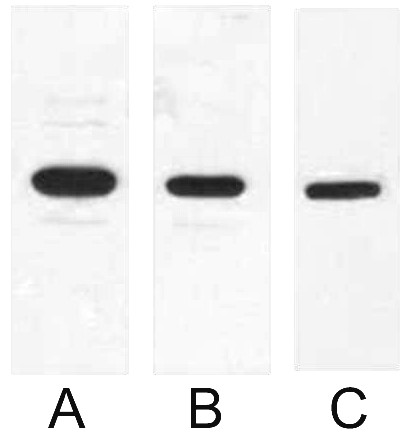 Fig. Western blot analysis of 0.5ug T7 Tag fusion protein with Anti-T7 Tag monoclonal antibody in 1:1000 (lane A), 1:2000 (lane B), 1:5000 (lane C) dilutions.