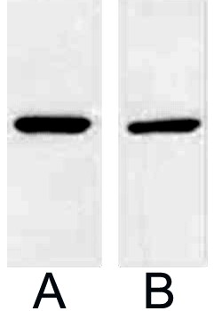 Fig.2. Western blot analysis of 1ug V5 fusion protein with Anti-V5 mouse monoclonal antibody in 1:5000 (lane A) and 1:10000 (lane B) dilutions.
