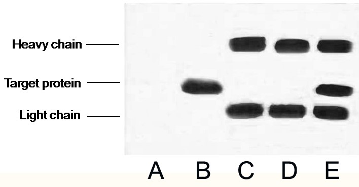 Fig.2. IP (1:200)-WB (1:5000) analysis of VSV-G Tag fusion protein expression in 293 cells. Untransfected 293 cell lysate (lane A, transfected 293 cell lysate with VSV-G tag protein (lane B); IP untransfected 293 cell lysate with Anti VSV-G tag mAb (lane C); IP transfected 293 cell lysate with normal Mouse IgG (lane D) or with Anti VSV-G tag mAb (lane E).
