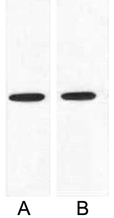 Fig.1. Western blot analysis of 1ug VSV-G fusion protein with Anti-VSV-G mouse monoclonal antibody in 1:5000 (lane A) and 1:10000 (lane B) dilutions.