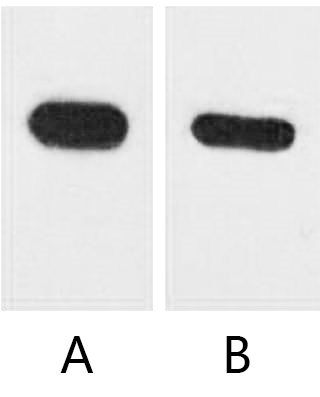 Fig. Western blot analysis of CBP recombinant protein with anti-CBP tag monoclonal Antibody (12H5) at 1:5000 (lane A) and 1:10000 (lane B) dilutions, seperately.