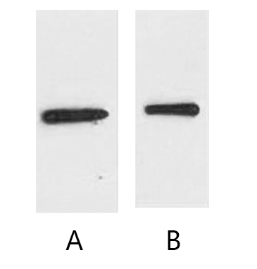 Fig. Western blot analysis of EYFP fusion protein with anti-EYFP tag monoclonal Antibody (10T3) at 1:10000 (lane A) dilution.