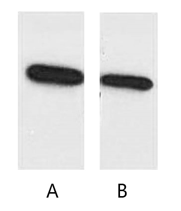 Fig. Western blot analysis of ECFP recombinant protein with anti-ECFP tag monoclonal Antibody (6B11) at 1:5000 (lane A) and 1:10000 (lane B) dilutions, seperately.