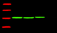 Fig.1.Western blot analysis of Corn, primary antibody (A01050) was diluted at 1:5000, secondary antibody: A23720.