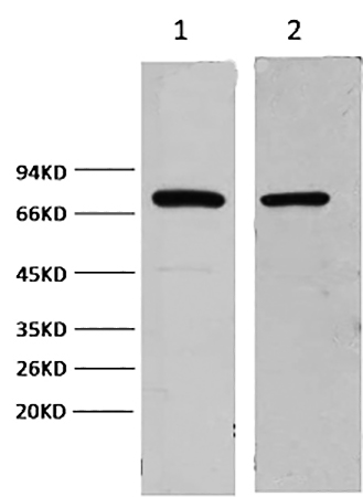 Fig.1. Western blot analysis of 1) Hela, 2) mouse brain, diluted at 1:2000.