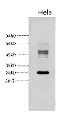 Fig.2. Western blot analysis of Hela, diluted at 1:3000.