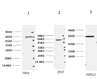 Fig.1. Western blot analysis of 1) hela, 2) 293T, 3) HepG2,  diluted at 1:2000.