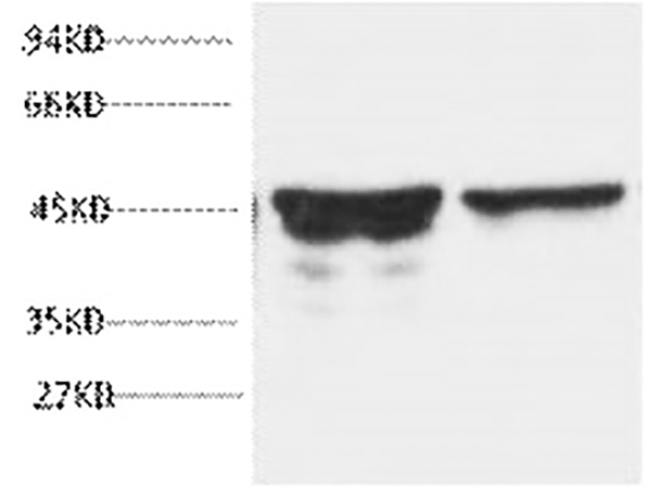 Fig.1. Western blot analysis of rat brain tissue, diluted at 1:5000.