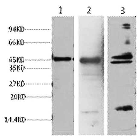 Fig.1. Western blot analysis of 1) Hela, 2) Mouse Heart tissue, 3) Rat Heart tissue, diluted at 1:2000.