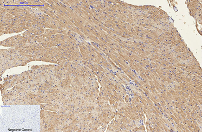 Fig.5. Immunohistochemical analysis of paraffin-embedded mouse heart tissue. 1, NSE Monoclonal Antibody was diluted at 1:200 (4°C, overnight). 2, Sodium citrate pH 6.0 was used for antibody retrieval (>98°C, 20min). 3, secondary antibody was diluted at 1:200 (room temperature, 30min). Negative control was used by secondary antibody only.