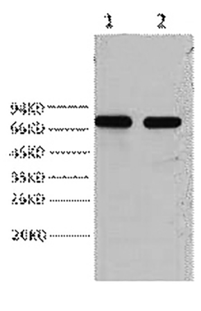 Fig.1. Western blot analysis of HepG2, diluted at 1:2000.
