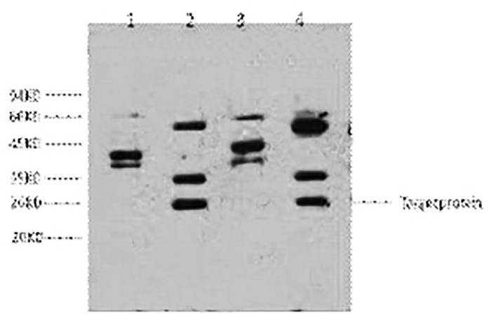 Fig.1. Western blot analysis of 1) Hela, 2) HepG2, 3) 293T, 4) Jurkat, diluted at 1:2000.