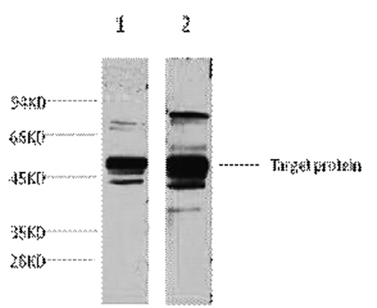 Fig.1. Western blot analysis of 1) Hela, 2) 293T, diluted at 1:3000.