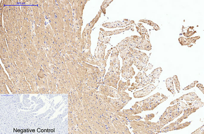 Fig.4. Immunohistochemical analysis of paraffin-embedded rat heart tissue. 1, HSP90β Monoclonal Antibody was diluted at 1:200 (4°C, overnight). 2, Sodium citrate pH 6.0 was used for antibody retrieval (>98°C, 20min). 3, secondary antibody was diluted at 1:200 (room temperature, 30min). Negative control was used by secondary antibody only.