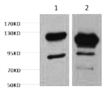 Fig. Western blot analysis of 1) Jurkat, 2) Hela, diluted at 1:2000.