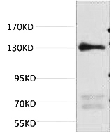 Fig.1. Western blot analysis of Rat Heart Tissue, diluted at 1:1000.