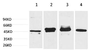 Fig.1. Western blot analysis of 1) Hela, 2) 293T, 3) Mouse Brain Tissue, 4) Rat Brain Tissue using GAP-43 Monoclonal Antibody.