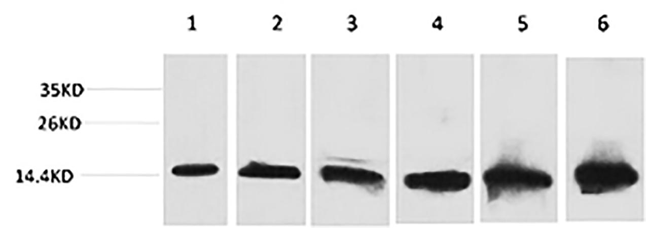 Fig.1. Western blot analysis of 1) Hela, 2) 293T, 3) 3T3, 4) Mouse Liver tissue, 5) Rat Liver tissue, 6) Rat Kidney tissue using CYCS Monoclonal Antibody.