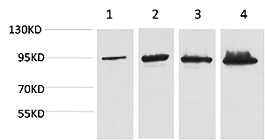 Fig.1. Western blot analysis of 1) Hela, 2) 293T, 3) Mouse Liver tissue, 4) Rat Liver tissue using Catenin-β Monoclonal Antibody.