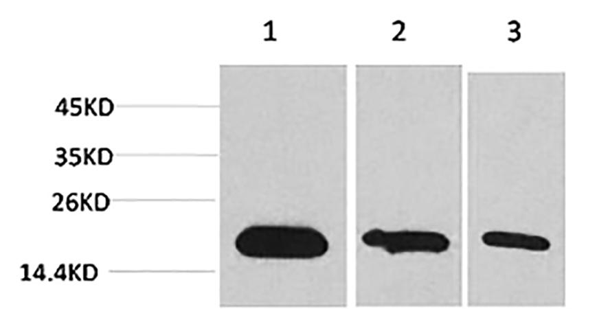 Fig.1. Western blot analysis of 1) Hela, 2) 293, 3) PC12 using Survivin Monoclonal Antibody.