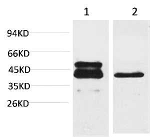 Fig.1. Western blot analysis of 1) A431,  2) 3T3 using CREB-1 Monoclonal Antibody.