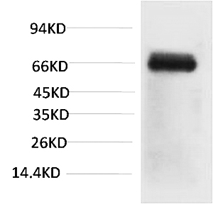 Fig. Western blot analysis of Bovine Serum Albumin using Bovine Serum Albumin Monoclonal Antibody.