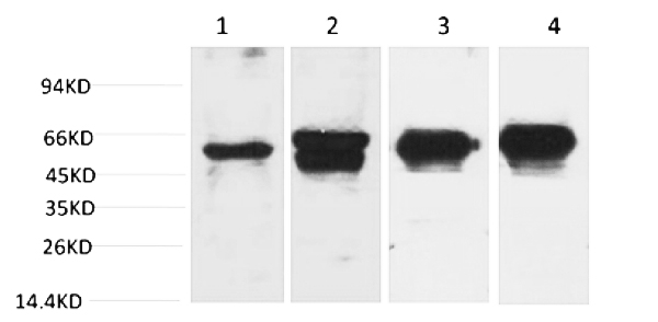 Fig.1. Western blot analysis of 1) Hela, 2) 293T, 3) Mouse Brain Tissue, 4) Rat Brain Tissue with c-Fos Mouse mAb diluted at 1:2000.
