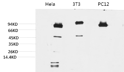 Fig.1. Western blot analysis of 1) Hela, 2) 3T3, 3) PC12 with STAT3 Mouse mAb diluted at 1:2000.